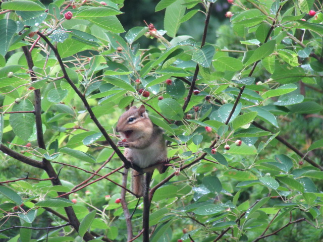 Chipmunk Eating Saskatoon Serviceberries