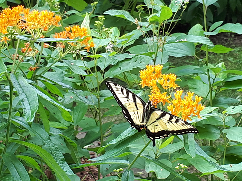Eastern Tiger Swallowtail Butterfly on Butterfly Milkweed