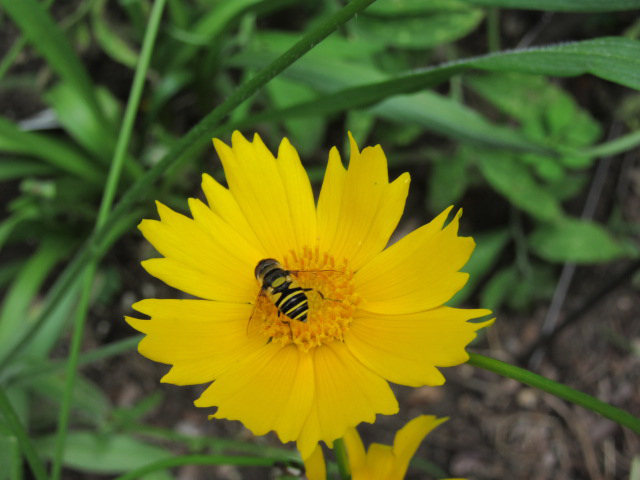 Native Plants in Claremont - Wildflower Kits